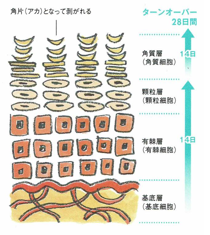 頭皮のターンオーバー 正常な頭皮のターンオーバーは28日間です。 高濃度配合のローズはちみつ発酵エキスが角質を柔らかくし、正常なターンオーバーを助けてくれます。